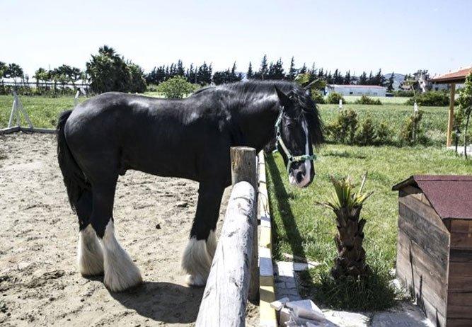 100 bin TL'lik atın fiziksel özellikleri şaşırtıyor